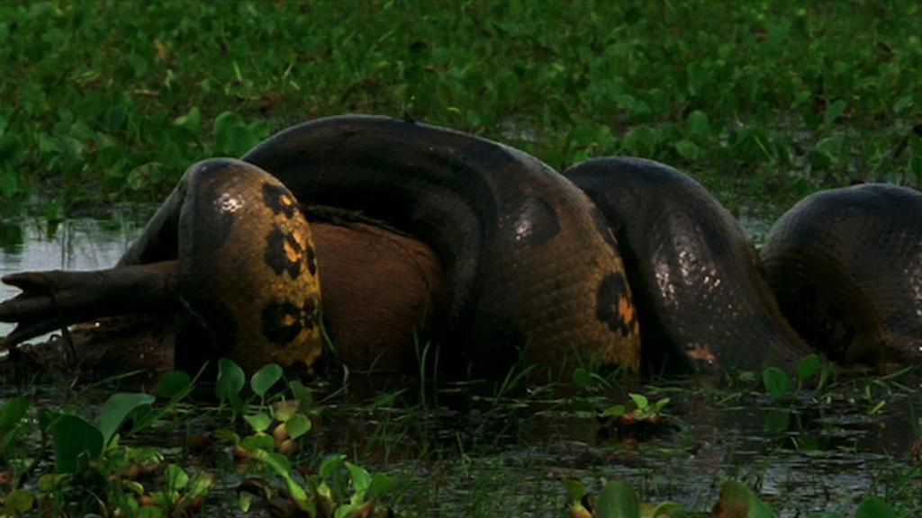 Giant Green Anaconda Head
