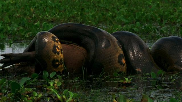 reticulated python eating hippo