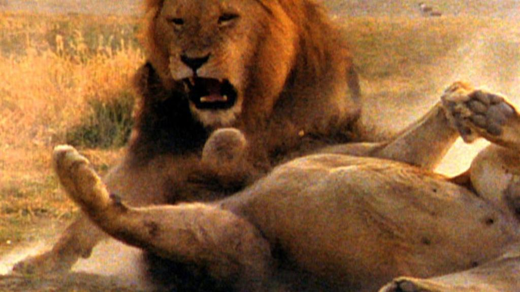 World's Deadliest: Lion vs  Lion