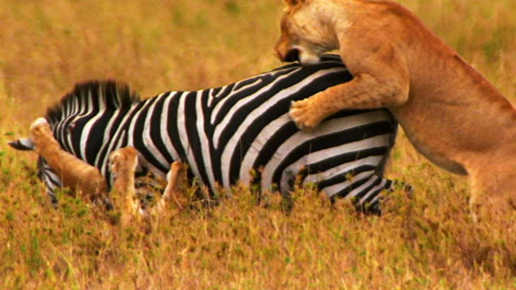 World's Deadliest: Lions vs  Zebra