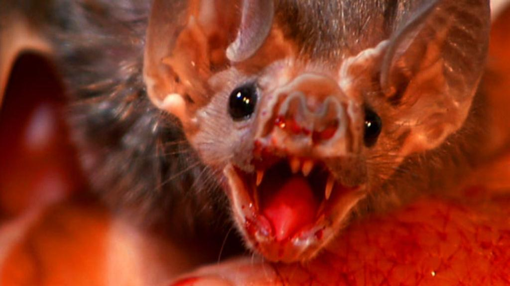 what is the diet of a vampire bat