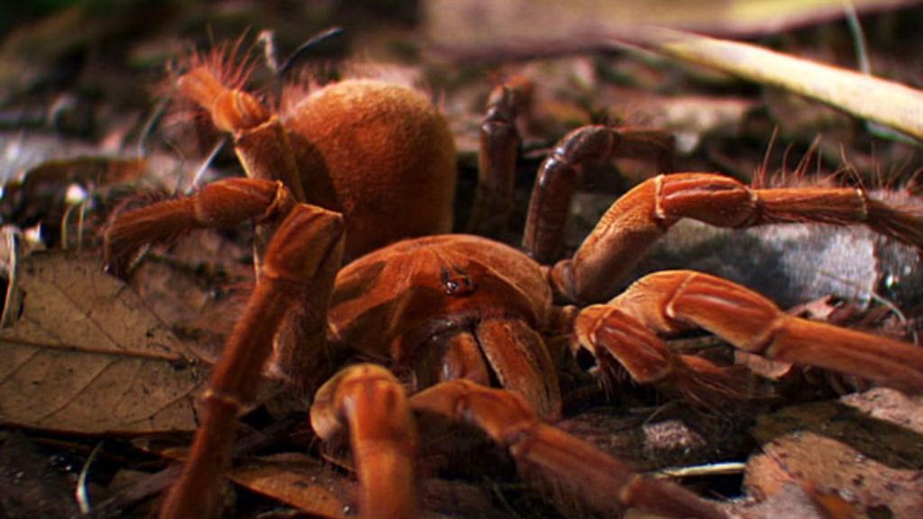 Worlds Weirdest Worlds Biggest Spider