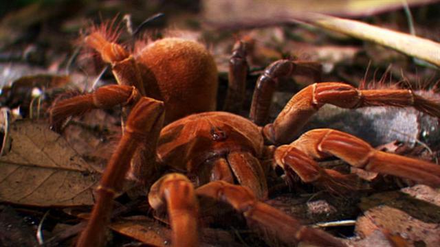 Explore The Beauty Of Caribbean: World's Weirdest: World's Biggest Spider