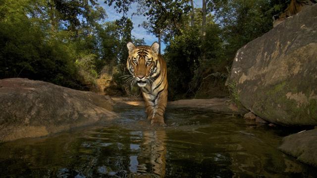 Ng Live Trapping Tigers