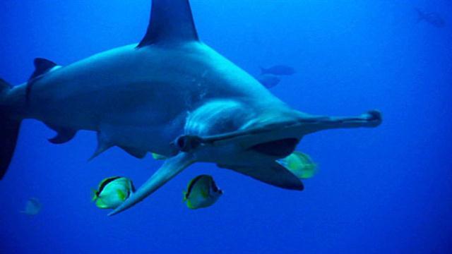 World's Deadliest: Hammerhead Sharks