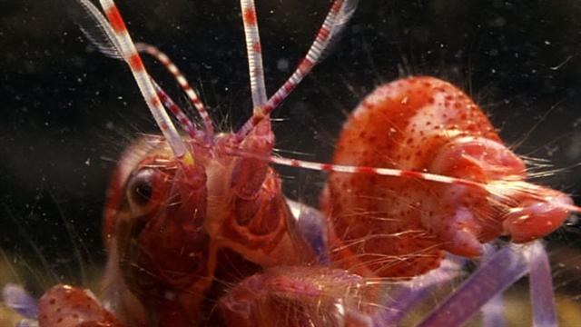 World S Deadliest Amazing Pistol Shrimp Stun Quot Gun Quot