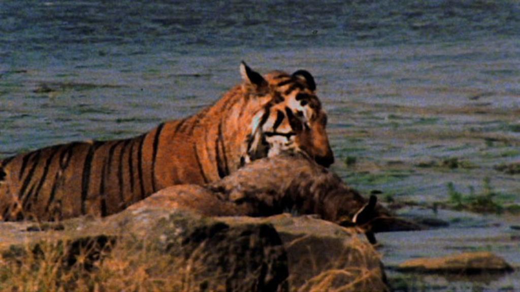 World's Deadliest: Tiger vs  Deer