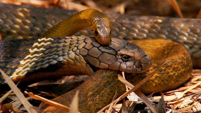 world s deadliest king cobra