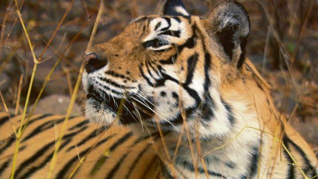 The True Story Of Machli Worlds Most Famous Tiger