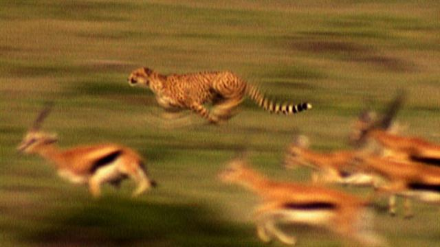 gazelle running from lion - photo #12