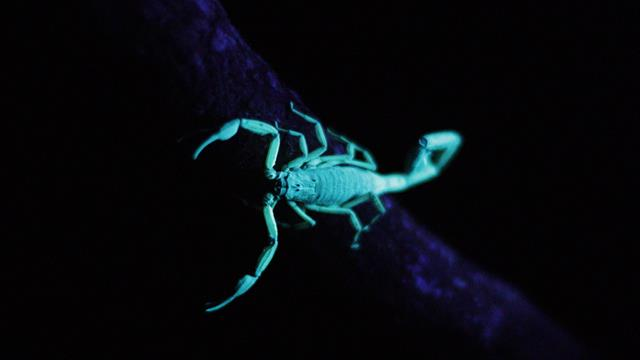 see what happens to this scorpion when the lights go out
