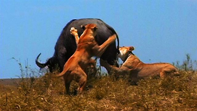 World's Deadliest: Lion Pack vs  Buffalo
