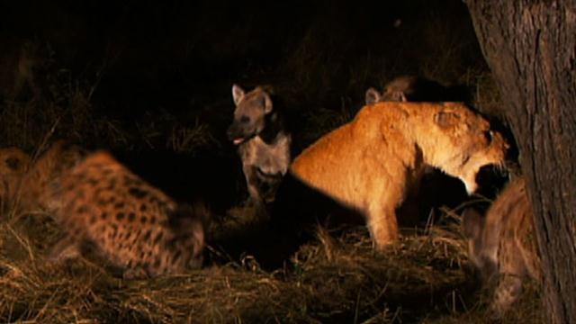 worlds deadliest lioness vs hyenas
