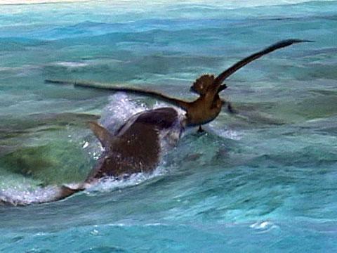 Albatross vs  Tiger Shark