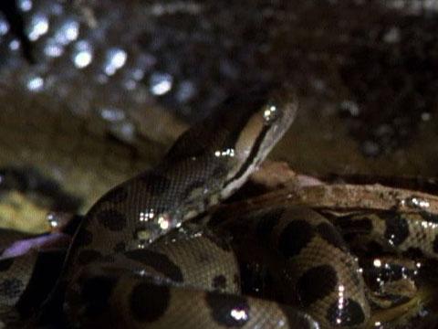 Anaconda full video