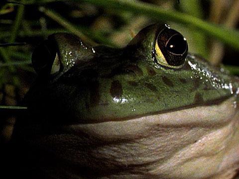 Bullfrogs Eat Everything