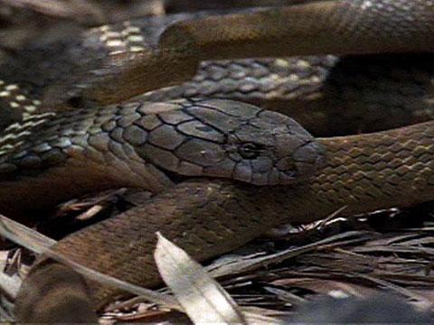 Cobra Vs Rat Snake