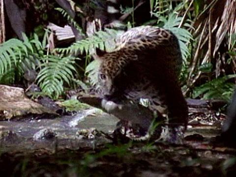 Jaguar Vs Croc