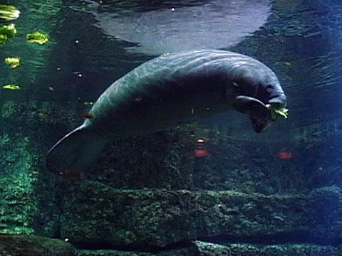 save the manatee race