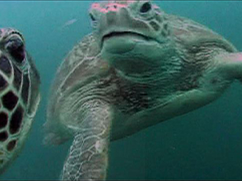 Turtle Cam Shows Jellyfish Lunch
