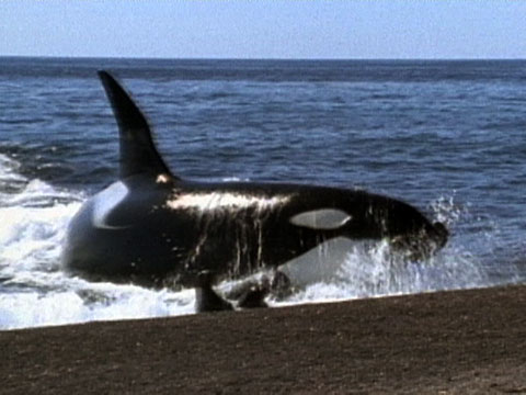 Killer whales attack on shore thecheapjerseys Choice Image