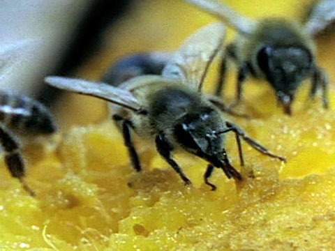 Image result for Africanized Honey Bees