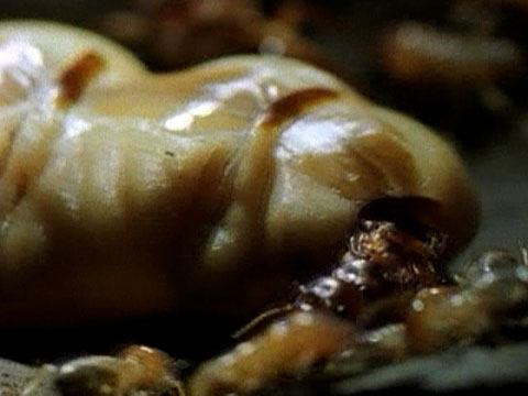 Lifestyle Of The Termite Queen