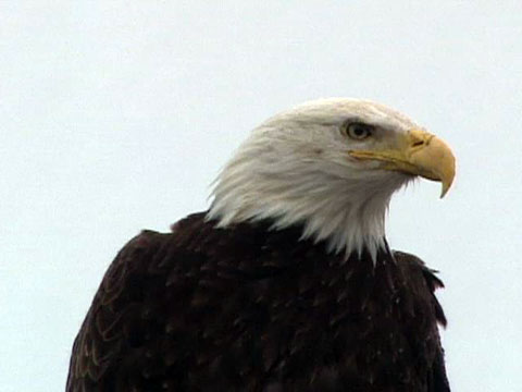 How Much Can A Bald Eagle Lift