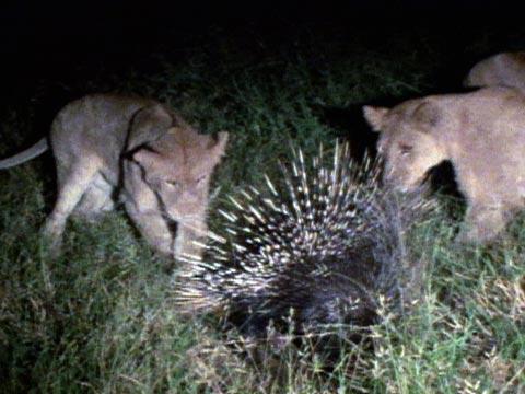porcupine vs lion