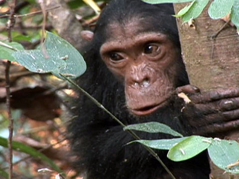 Tourists Killing Chimps