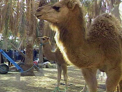 Car For Kids >> Tunisian Camels