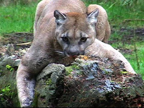 Washington Cougar