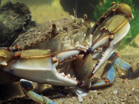 Blue Crab Vs Clam