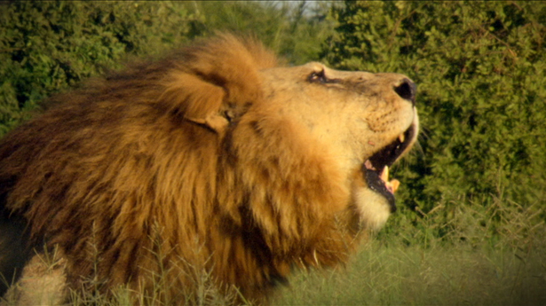 Will A Lion Eat A Cat