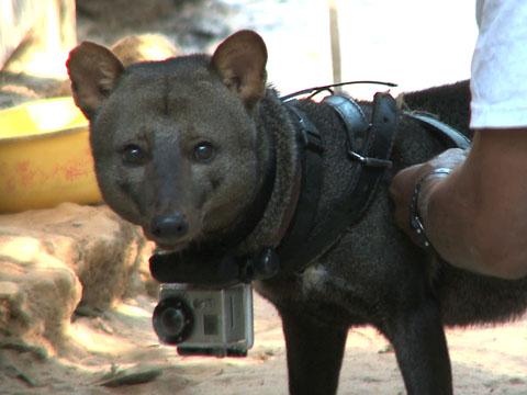 Amazon Short Eared Dog