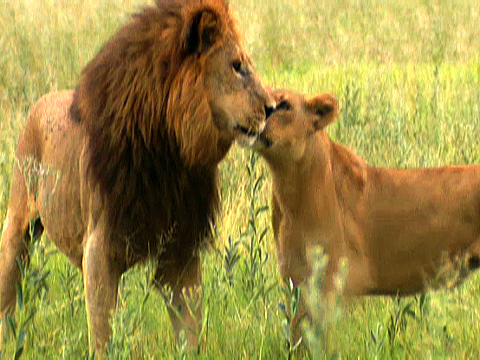 Male Lions Vs Female Lions